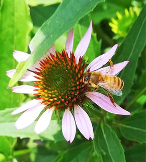Nucs + Bees